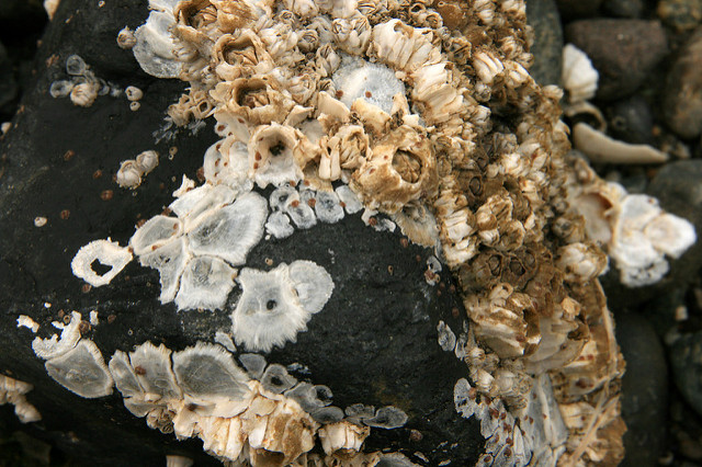 Barnacles on a rock. Photo by Quinn Dombrowski.